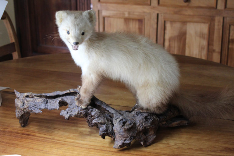 Taxidermy France Ermine Stoat White Weasel The French Antique Store